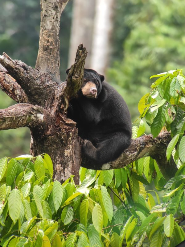 Malaysia - 18266 - Conservation Centre - Sun Bear atop a Tree