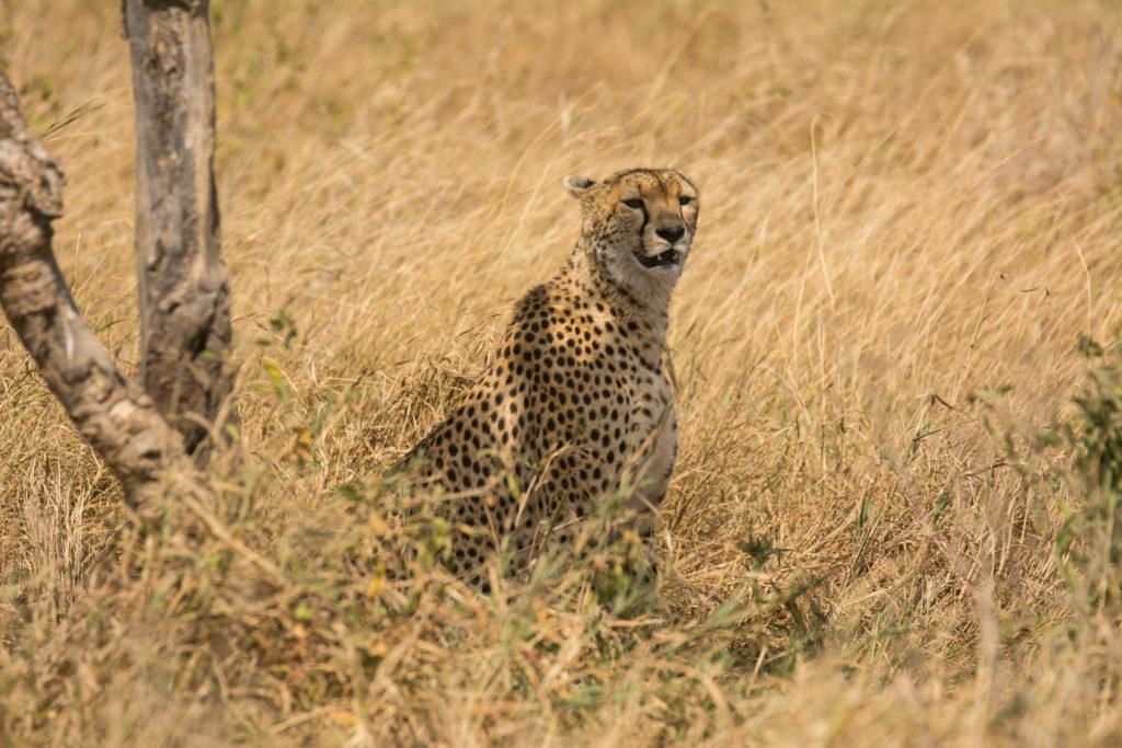 Tanzania - 17467 - Serengeti - Lemala Mare Ndutu - Cheetah Sighting in Serengeti grass plains