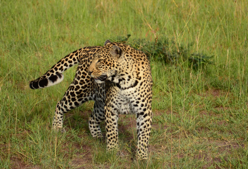 Tanzania - 17467 - Tarangire National Park - Lemala Mpingo Ridge - Leopard sighting on safari game drive