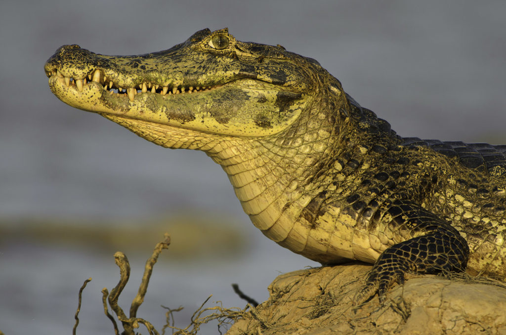 Brazil - 1584 - Exclusive Luxury - Wildlife Copia de Pantanal