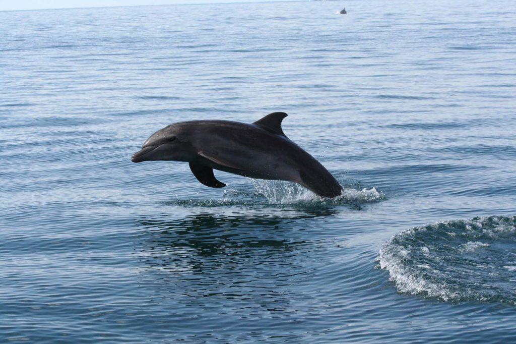 The dolphins swim by during a tour at Marino Ballena