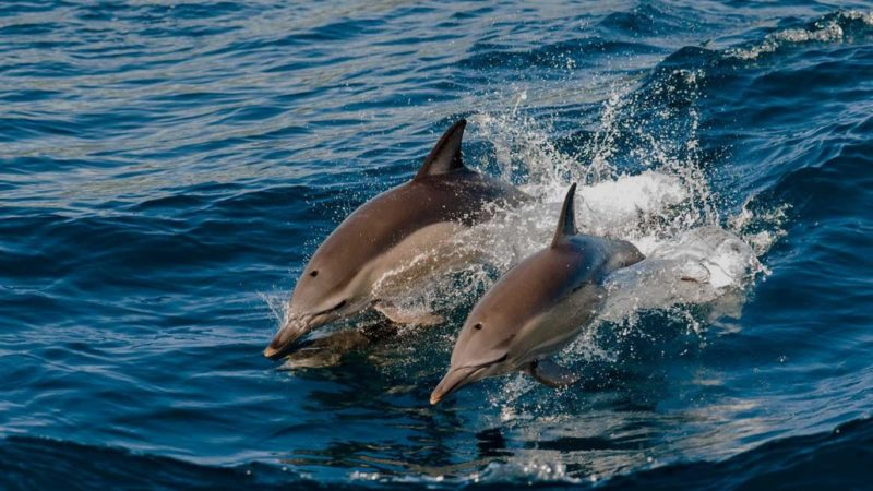 Maldives - Male Atoll - 1567- Kagi Maldives Spa Island - Dolphin Cruise