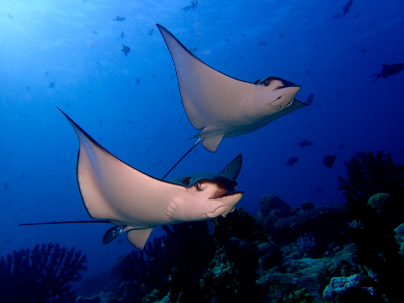 Maldives - Male Atoll - 1567- Kagi Maldives Spa Island - Under Water Eagle Ray