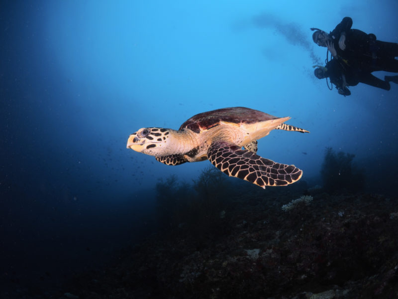 Maldives - Male Atoll - 1567- Kagi Maldives Spa Island - Underwater Turtle and Diver