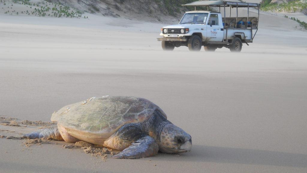 South Africa - 4948 - thonga beach lodge - turtle