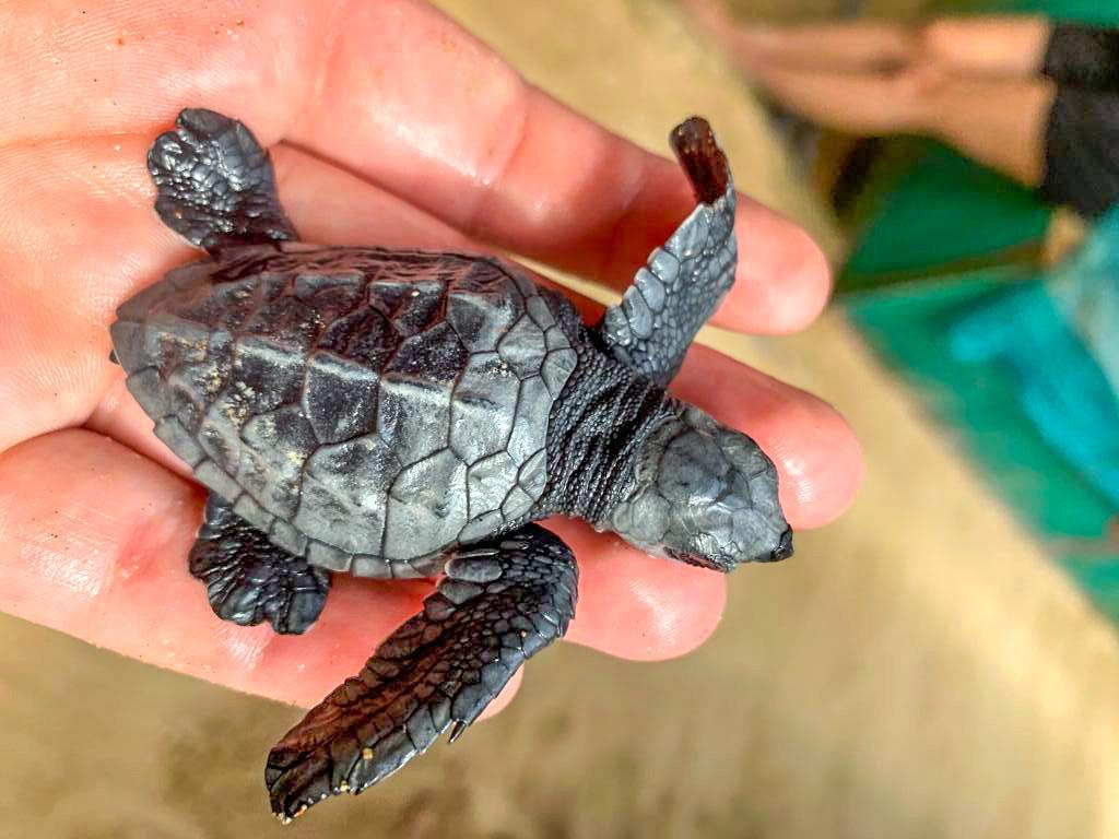 Baby Turtle Rescue Project Sri Lanka