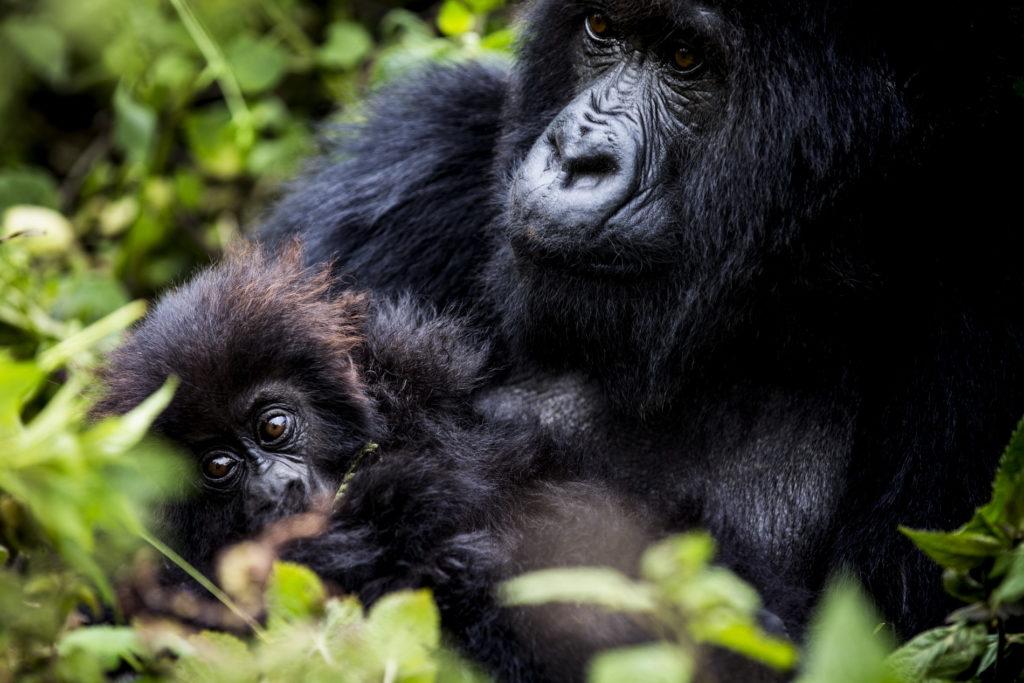 Rwanda - Volcanoes National Park - 1568 - Bisate Lodge gorilla