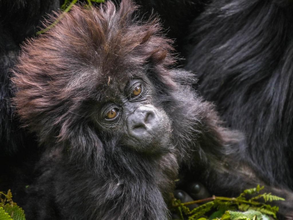 Rwanda - Volcanoes National Park - 1568 - Sabyinyo Silverback Lodge Gorilla