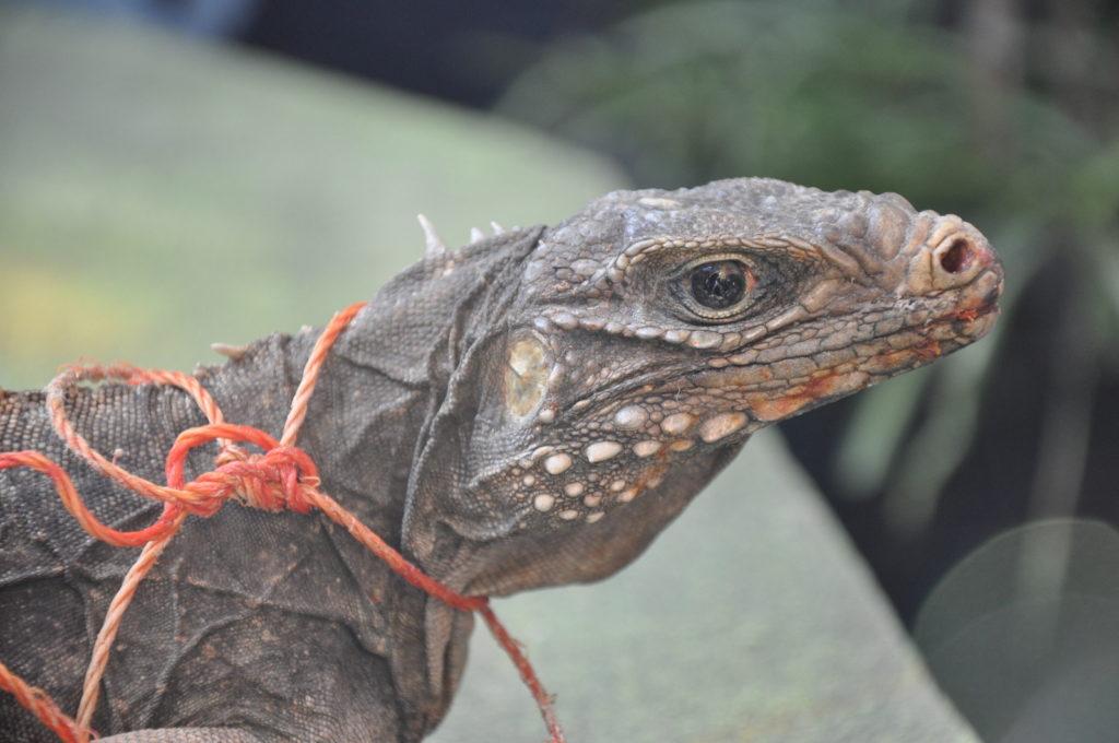 Cuba - Animals, Iguana, Fauna, Excursions, Cuba