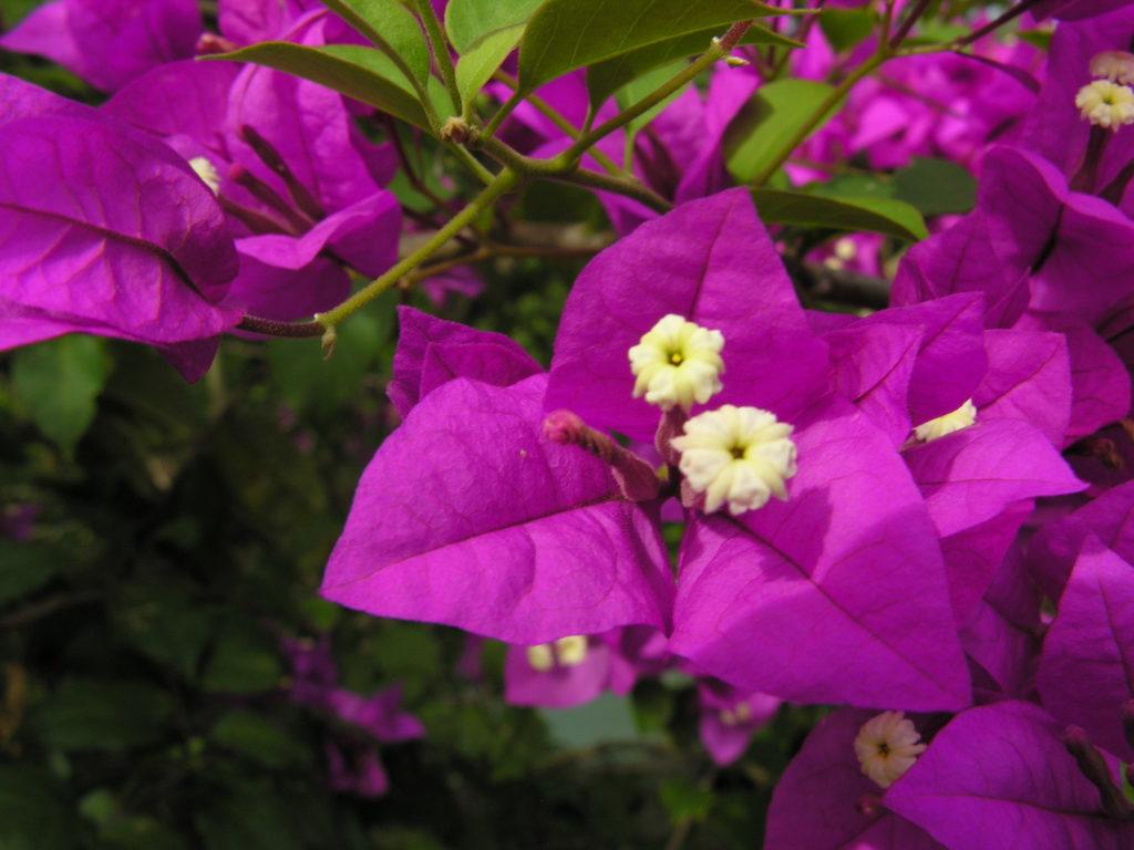Cuba - Flora, Flowers, Purple, Island, Excursions, Cuba