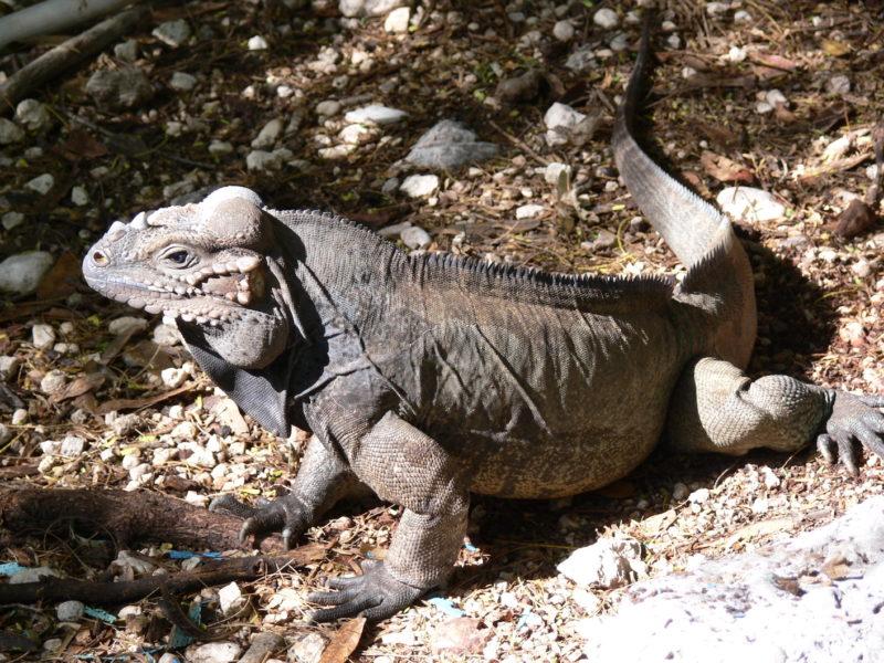 Dominican Republic - Iguana