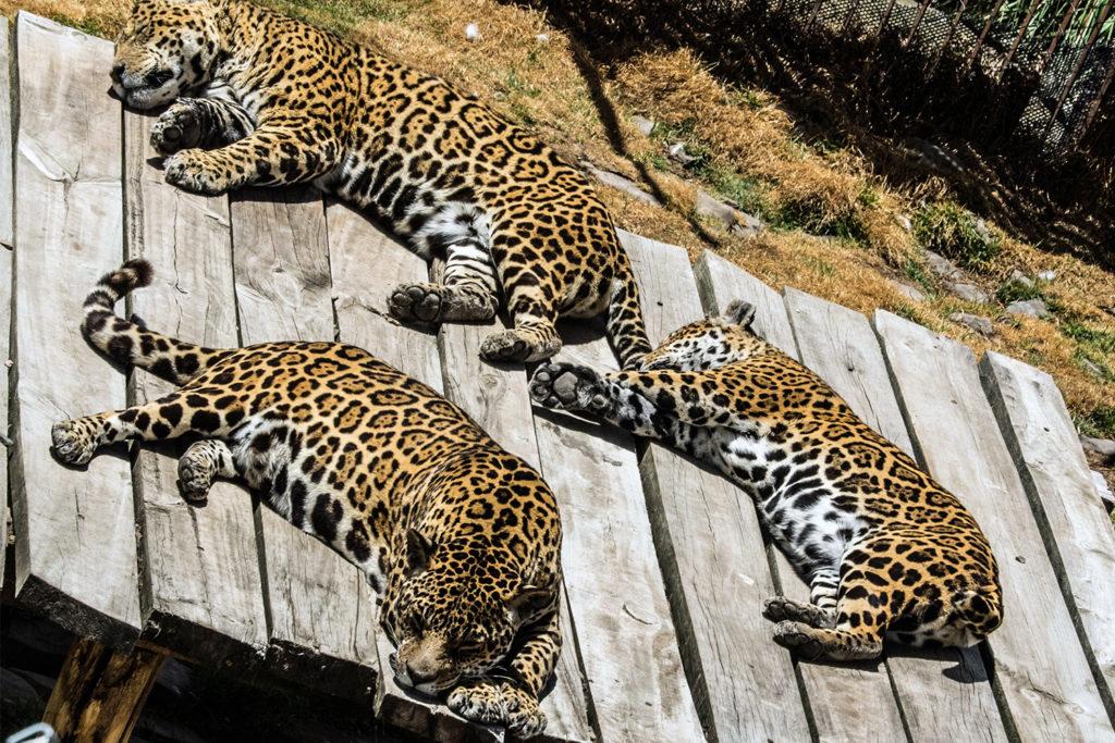 Granja Porcon Jaguars Peru