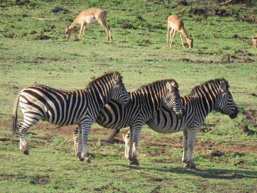 andBeyond Phinda Private Game Reserve - Rock Lodge - Zebra