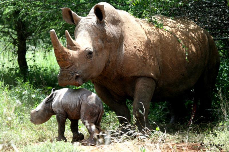 Ol Jogi - White Rhino