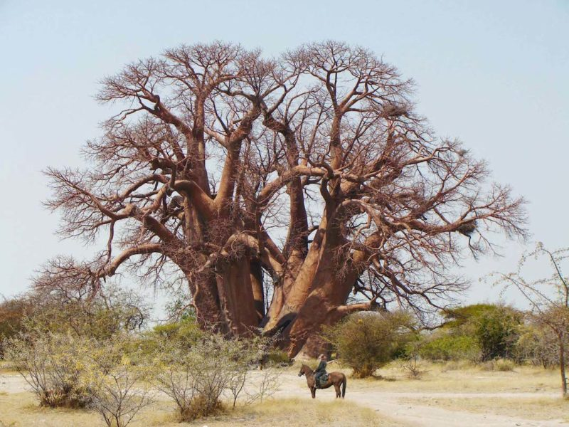 Jack's Camp - Chapmans Baobab