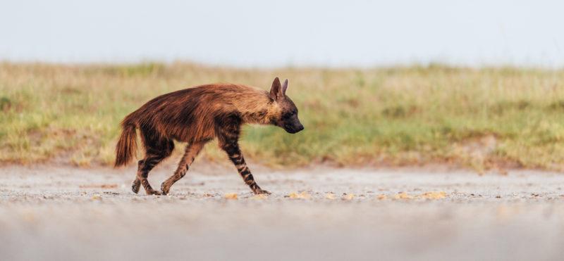 Jack's Camp - Brown Hyena